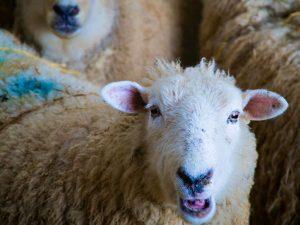 sheepinfo