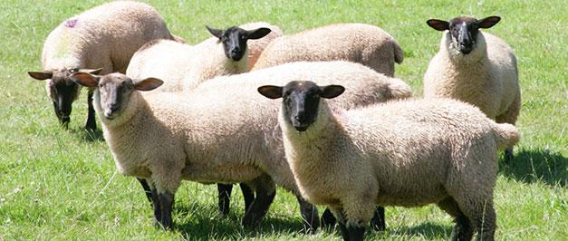sheeptext